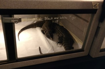Fear Factor Tegu Lizard