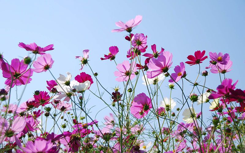pink_flowers_blue