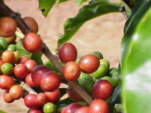 Green_coffee_beans