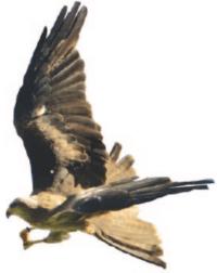 di-black-kite-raptor