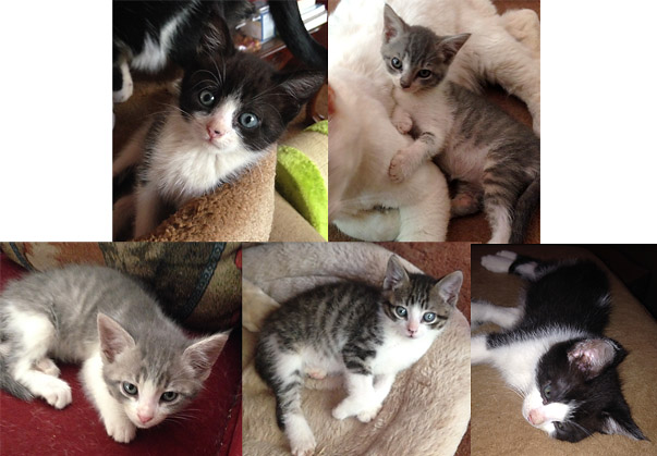 This Week at the Angels Camp CHS Thrift Store Adoption Center – OODLES OF KITTENS!