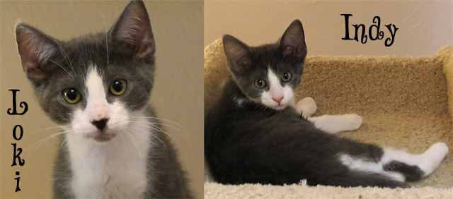 This Week at the Arnold CHS Thrift Store Adoption Center – LOKI & INDY!