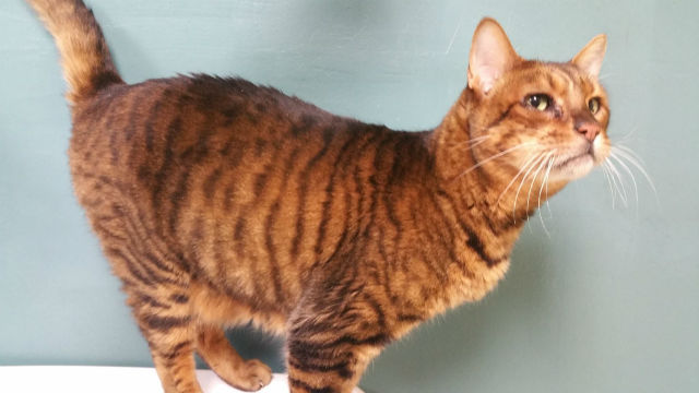 Beautiful Bengal Named Simba Looking For A Home
