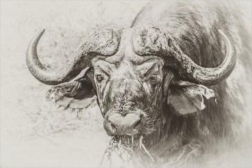 Kaffernbüffel