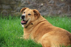 6 Tips to Help Your Overweight Dog Lose Weight – 2021 Guide