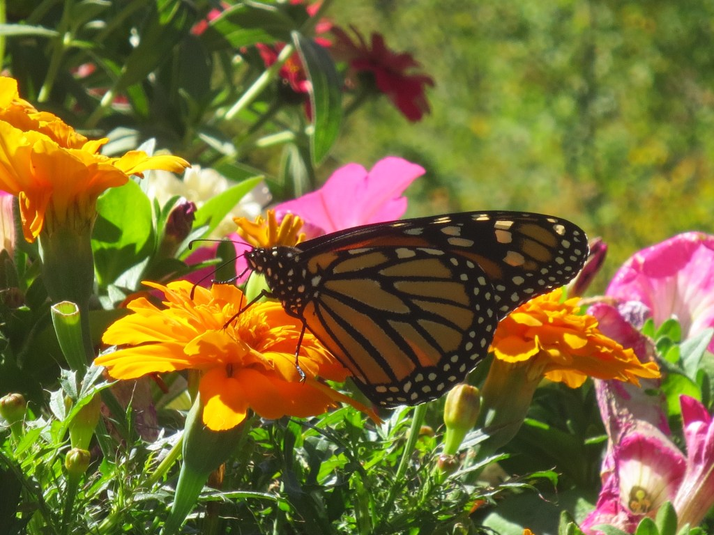 Newark FUMC Monarch Butterfly photo by Nancy Schrader