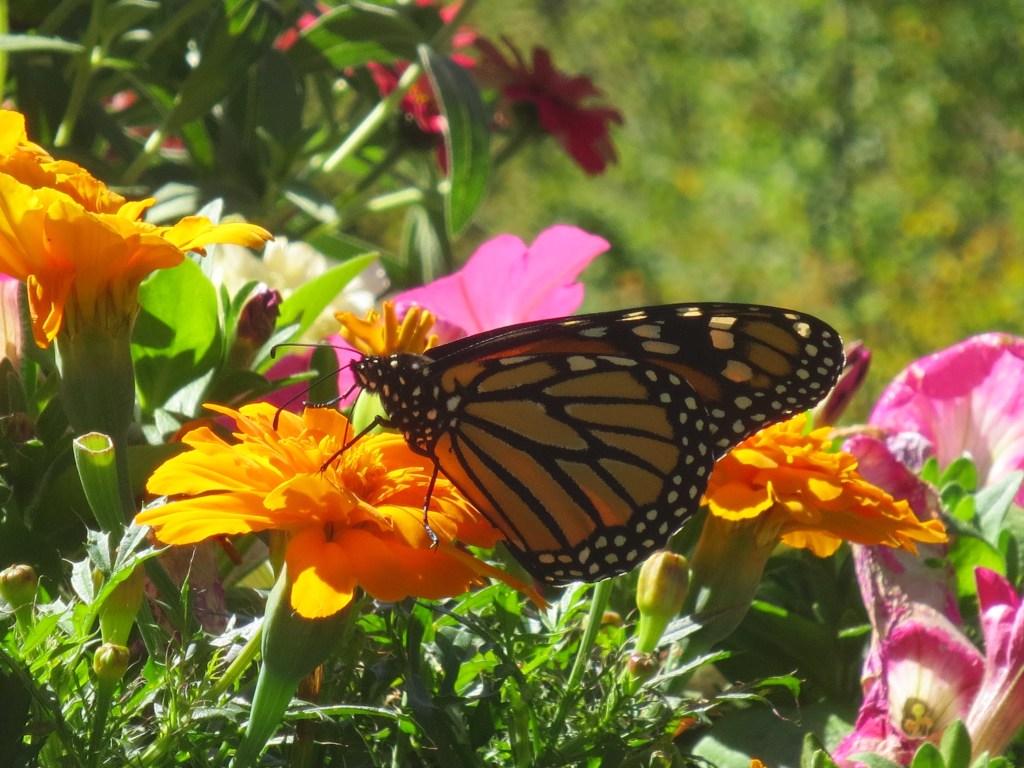 Newark FUMC Monarch Butterfly photo by Nancy Schrader