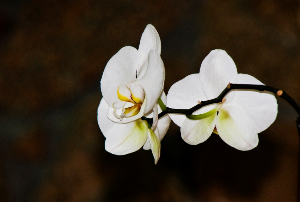 Newark FUMC Orchids photo by Vicki George