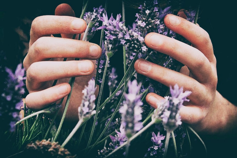 Someone holding a bush of lavender