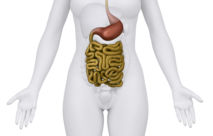 stomach and small intestines