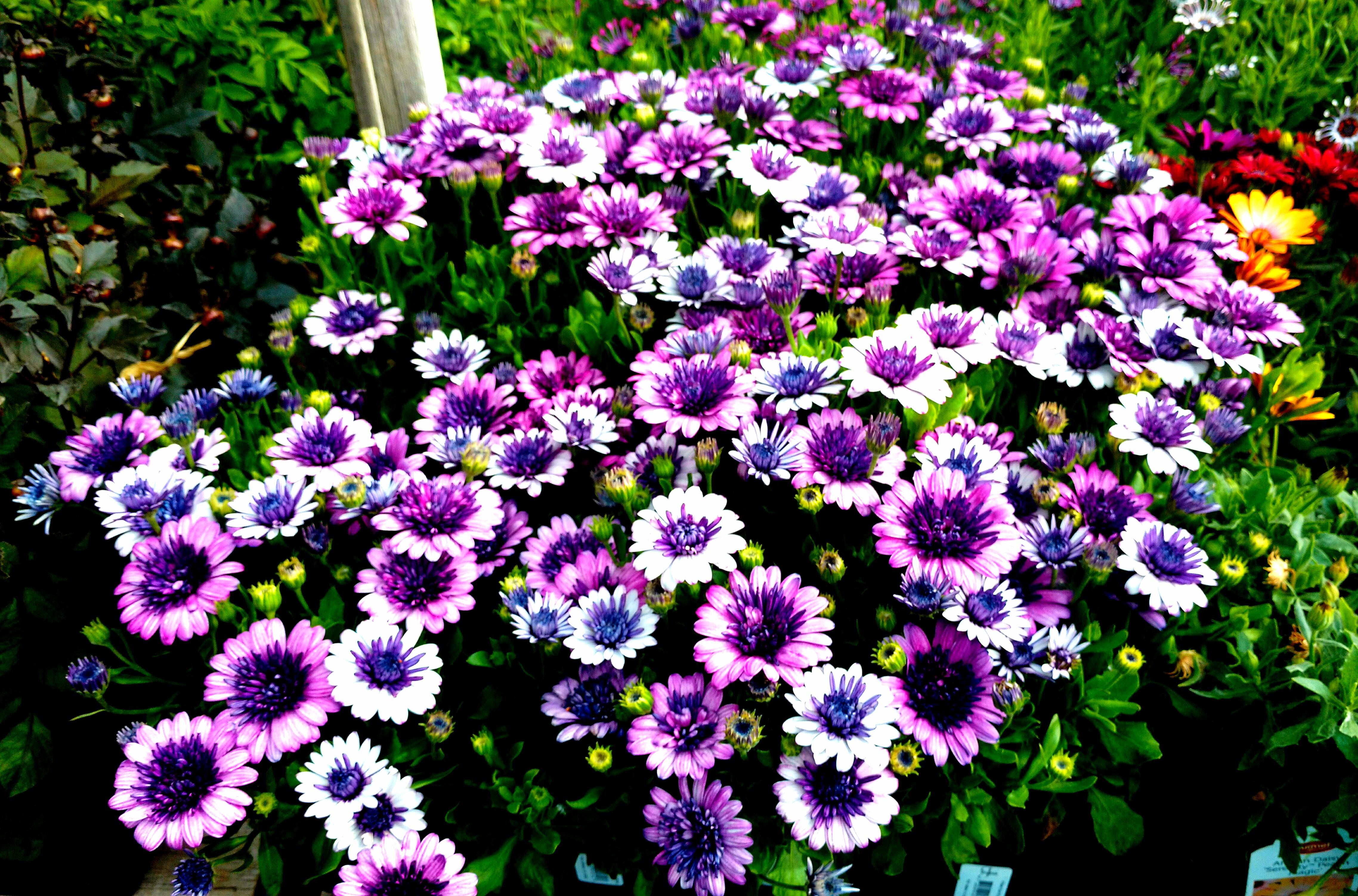 Osteospermum - 4D Lavender Ice
