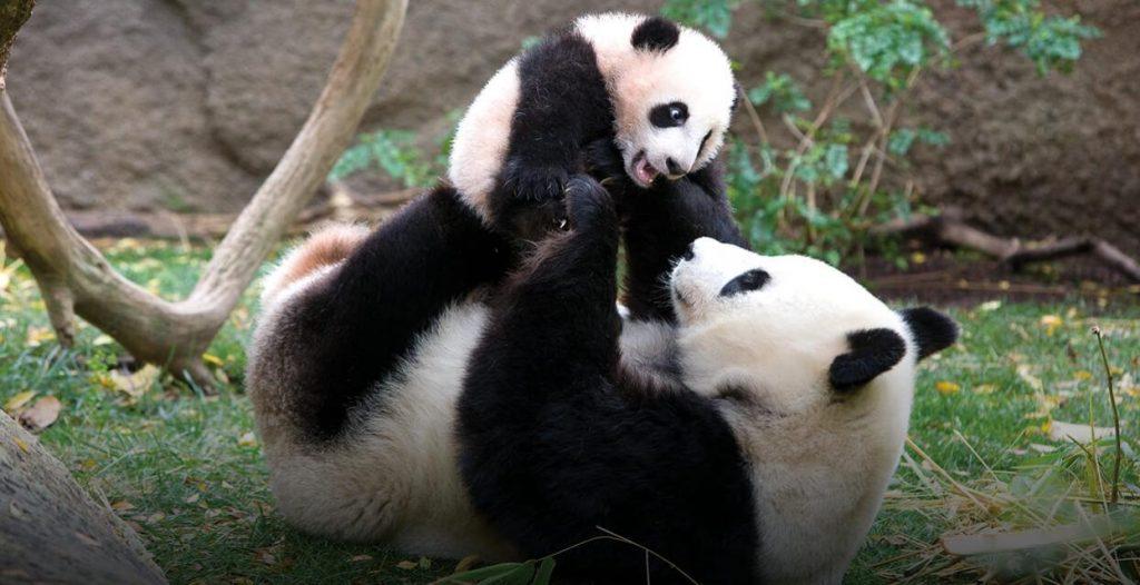 heros-giant-panda