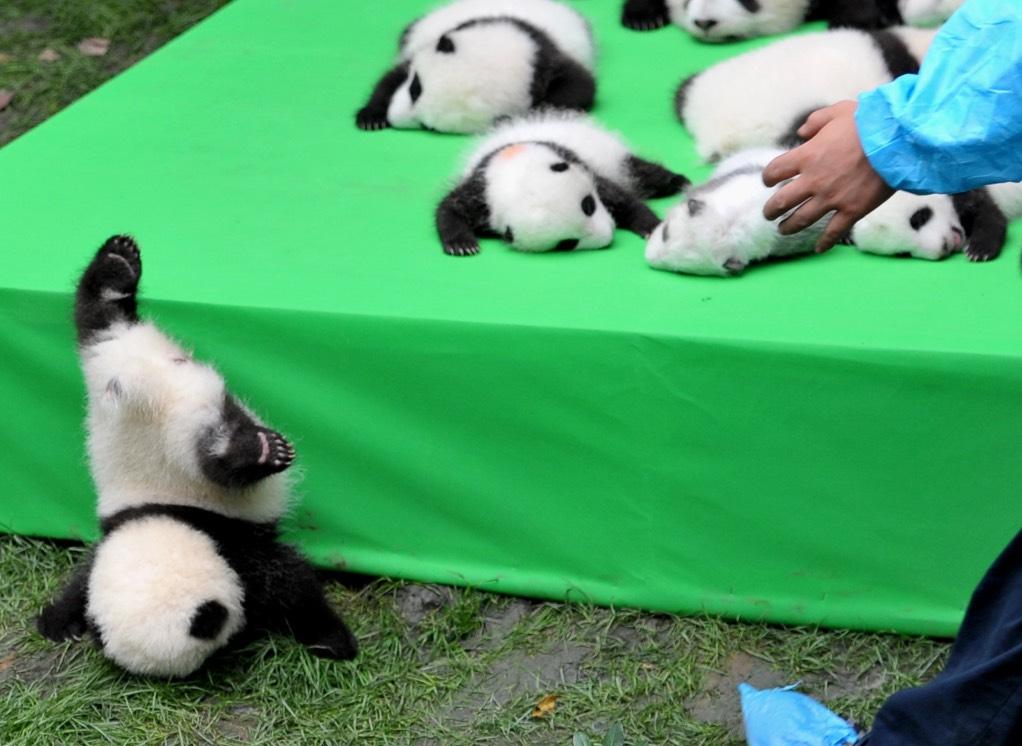 panda-cub-faceplant-closeup