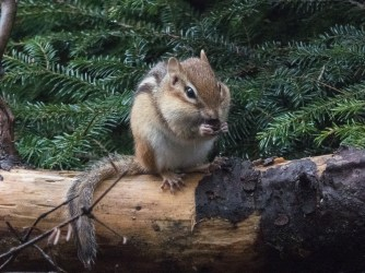 Chippy with a snack