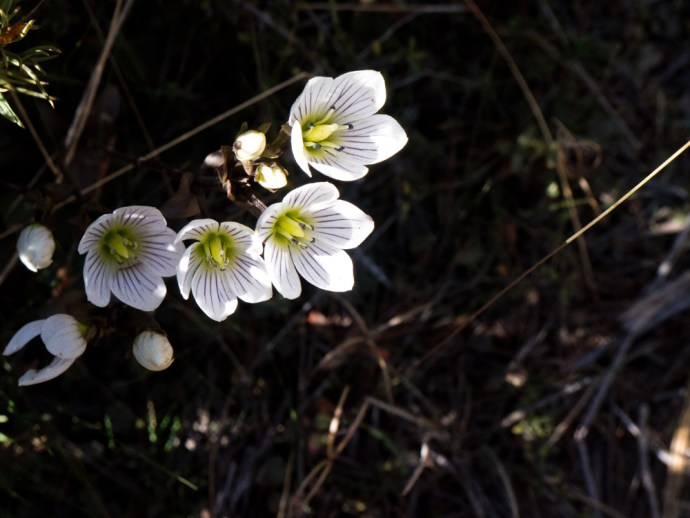 One of the many breeds of delicate little alpine flowers that make mini gardens along the Tongariro Northern Circuit