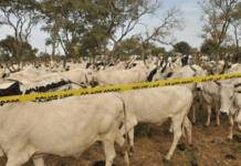 Police Arrest 4 Suspected Cattle Rustlers With 208 Animals