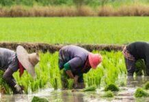 Wet Season: 1,390 Kaduna Rice Farmers Get Seedlings, Fertilizers, Pesticides