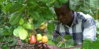 Nigeria Exported N41.9bn Sesame, N13.7bn Cashew In 1Q 2021 – FACAN