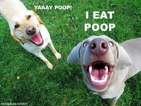 dog eat poop