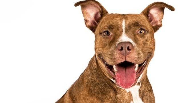adopting a pitbull