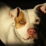 Breed-Specific Legislation:  Pet Owners and BSL
