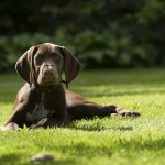 Is a German Shorthaired Pointer Right for You?