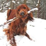 Are Sticks Safe for Dogs to Play With?