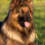Is a German Shepherd Dog Right for You?