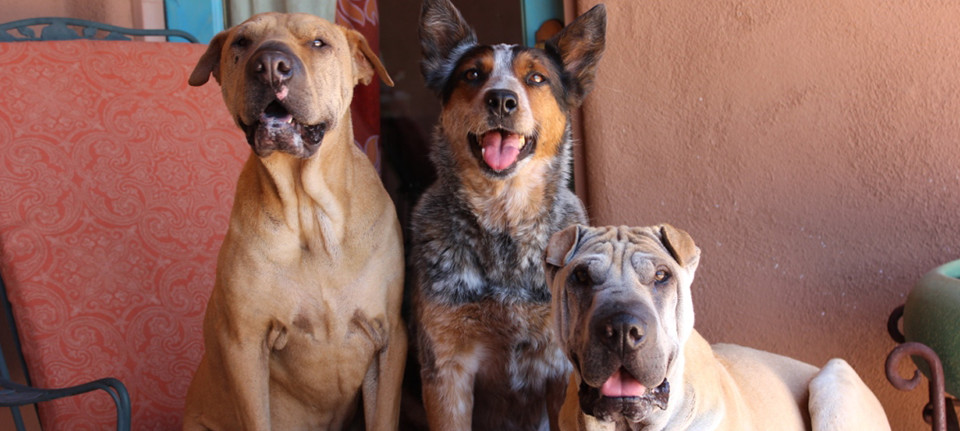 Dog Training in Tucson – Customized In Home Training Programs