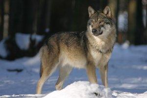 Wolf Empowerment