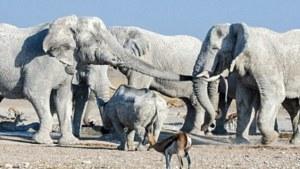 white elephant attunement