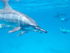 Aquamarine Dolphin Healing Ray