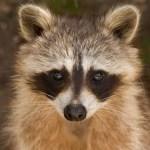 Raccoon Medicine Empowerment