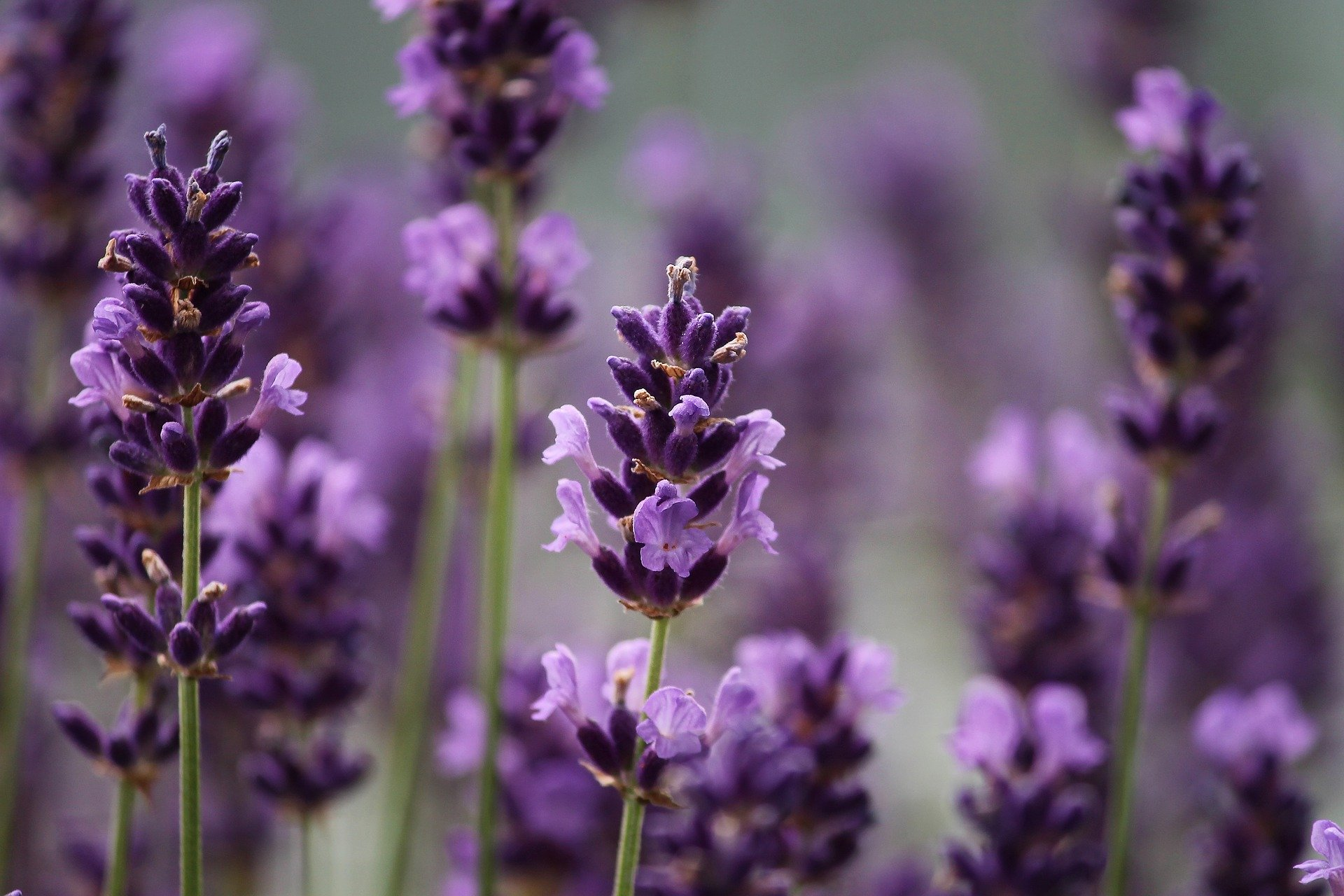 Etheric Lavender Essence Empowerment