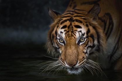Image of ferocious appear tiger. This image is meant to portray how hopeless we fee in relationships when we don't have a connection. This can be addressed by an Emotionally Focused Couples Therapy Intensive in Connecticut.