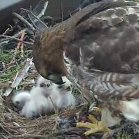 Watch at Cornell University - Live Red-tailed Hawk Nest With Three Chicks!