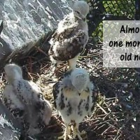 The Baby Hawks at At One Month Old