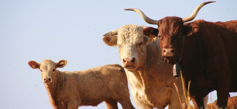 Vaches Salers