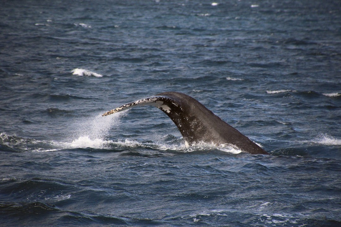 La queue d'une baleine en australie