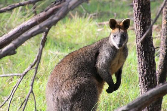 Le wallaby est un animal très répandu en Australie @neweyes