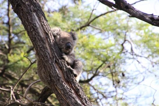 Le koala est un animal endémique d'Australie