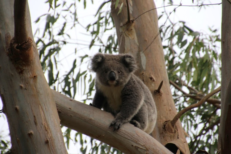 Enfin un koala qui ne dort pas