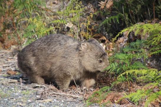 Le Wombat est un marsupial @neweyes