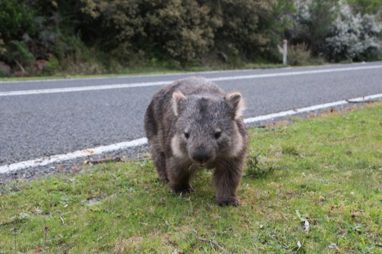 Wombat sur le bord de la route en Australie @neweyes