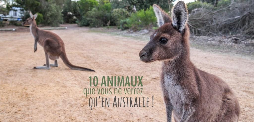 Kangourous, wombat, émeu, wallaby, koala et bien d'autres animaux incroyables