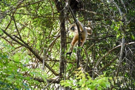 Gibbon à mains blanches au nord-est de la Thaïlande @neweyes