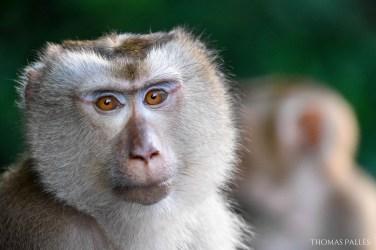 Macaque crabier au nord de la Thaïlande @neweyes