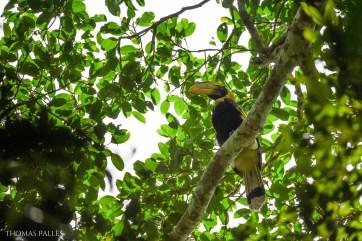 Un calao bicorne observé en forêt de Khao Yai @neweyes
