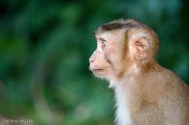 Un bébé singe à Khao Yai