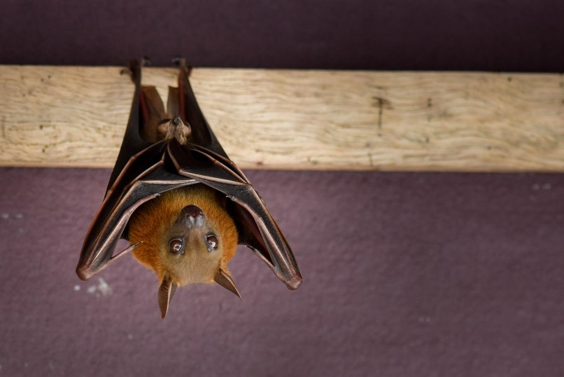Une chauve-souris en forêt tropicale de Malaisie @neweyes